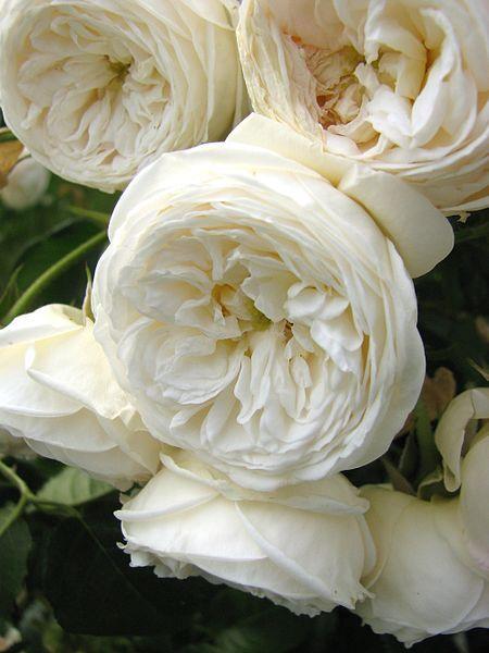 white-garden-rose
